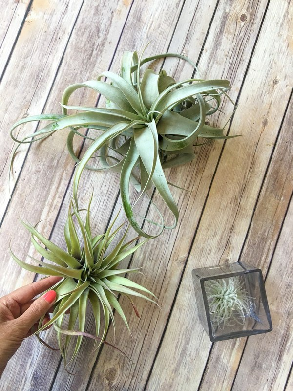 Air plants are easy to care for and spruce up the home.