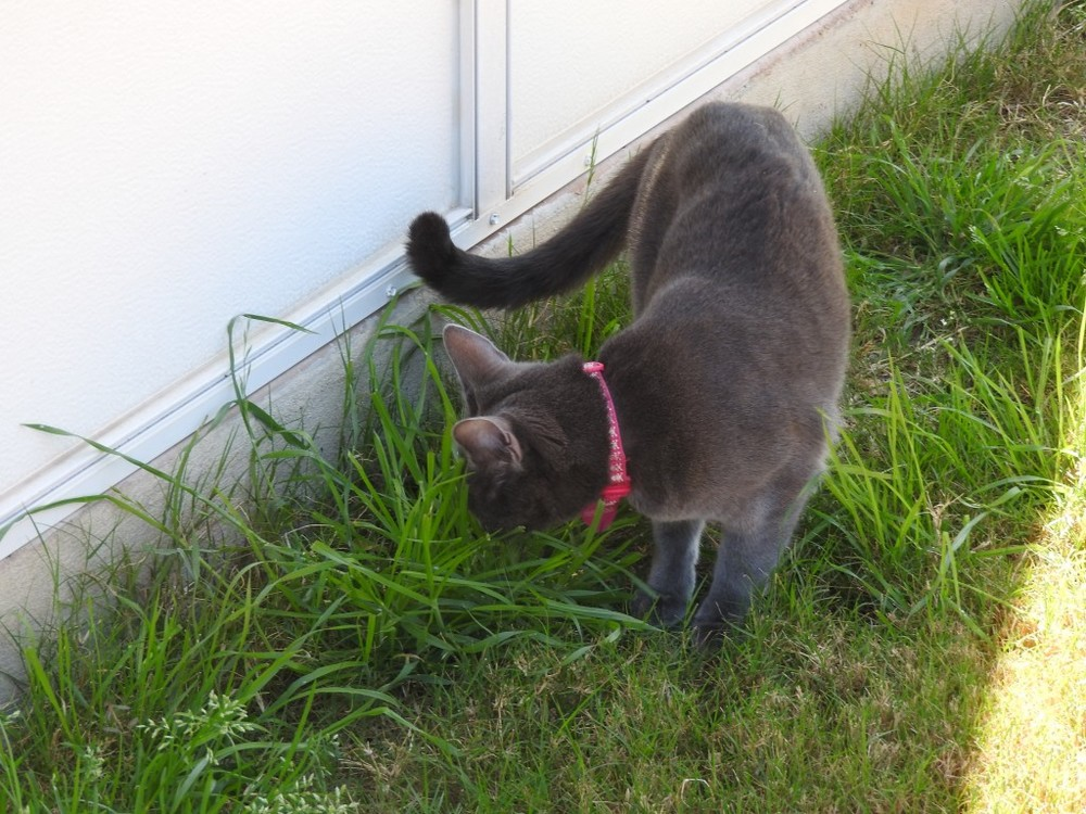 Katniss eating grass which is a lesson we learn from cats to eat our greens