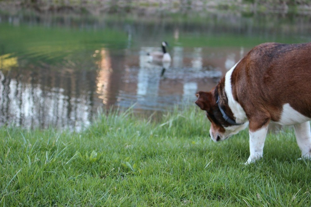 My Older Dog is now chasing geese into the pond.